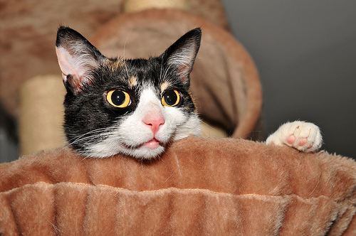 black cat white paws