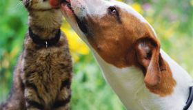 Brown and white dog licking tabby cat