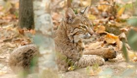Close up on a bobcat