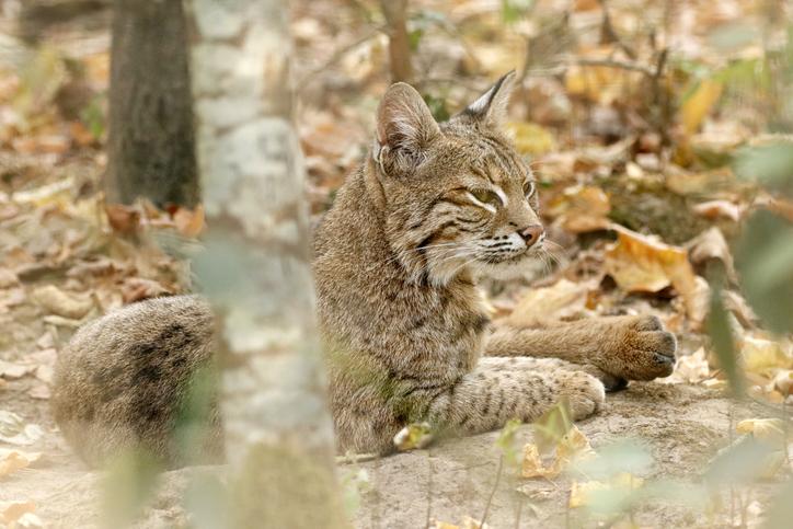 Close up on a bobcat